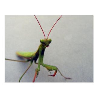Postal, foto verde del insecto de la mantis religi tarjeta postal
