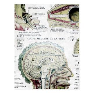 Postal francesa de la anatomía del vintage