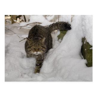 Postal - gato montés escocés