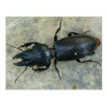 postal Grande-dirigida del escarabajo de tierra