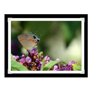 Postal gris de la foto de la mariposa de Hairstrea