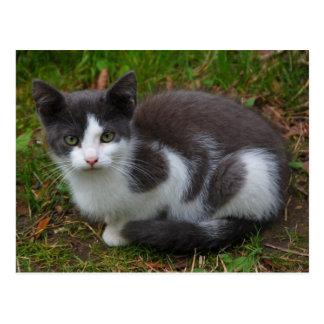 Postal gris y blanca del gatito