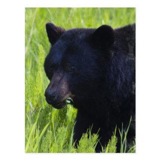 Postal hambrienta del oso negro