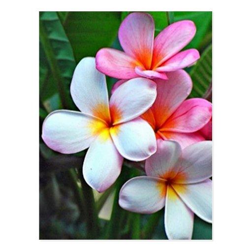 Postal hawaiana de la flor del hibisco