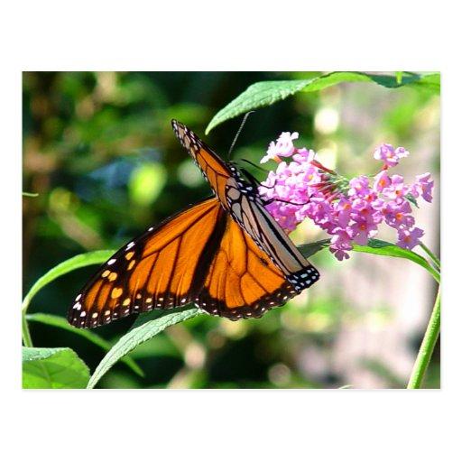 Postal hermosa 5 de la mariposa