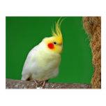 Postal hermosa de la foto del pájaro del Cockatiel