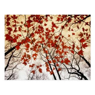 Postal hermosa de las hojas de arce