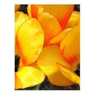 Postal hermosa de los tulipanes