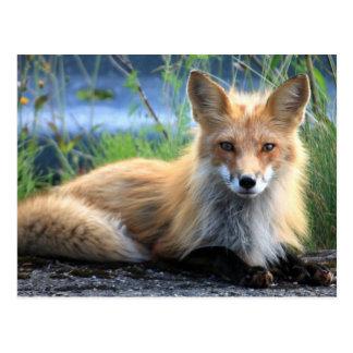 Postal hermosa del retrato de la foto del zorro ro