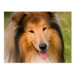 Postal hermosa del retrato del perro del collie