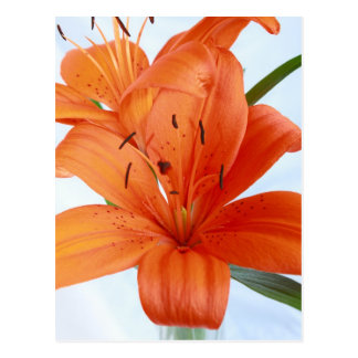 Postal Hued anaranjada gloriosa del primer del lir