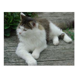 Postal - imagen 1 del gato de Coon de Maine
