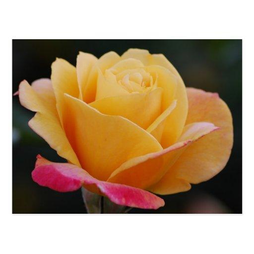 Postal inclinada rosa del rosa amarillo