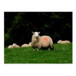 Postal intrépida de las ovejas