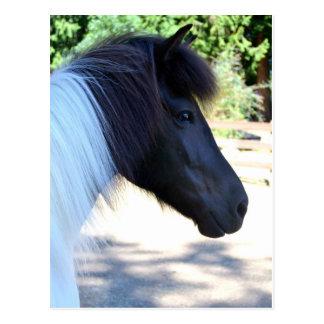 Postal islandesa del caballo de la pintura bonita
