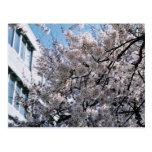 Postal japonesa de Sakura de las flores de cerezo