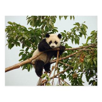 Postal joven de la panda gigante