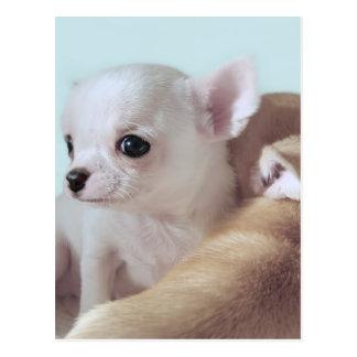 Postal linda de los perritos de la chihuahua