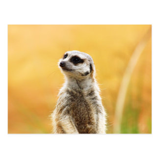 Postal linda de Meerkat