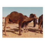 Postal marroquí del camello