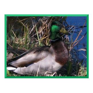 Postal masculina #2 del pato del pato silvestre