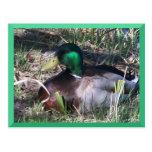 Postal masculina del pato del pato silvestre