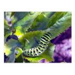 Postal negra de Swallowtail Caterpillar 2