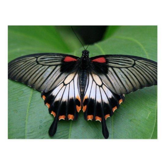 Postal negra y rosada de la mariposa de Swallowtai