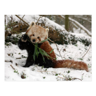 Postal - panda roja 2