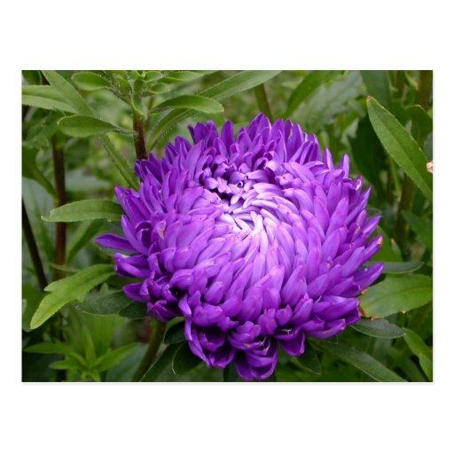 Postal púrpura bonita de la flor