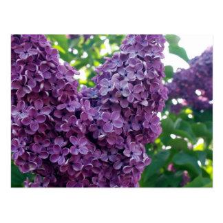 Postal púrpura de las lilas