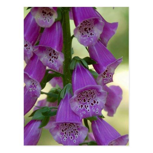 Postal púrpura del Foxglove