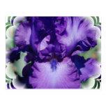 Postal púrpura del iris barbudo