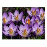 Postal púrpura soleada de las azafranes