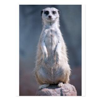 Postal rechoncha de Meerkat