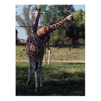 Postal reticulada de las jirafas