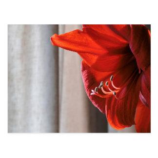 Postal roja de la flor del Amaryllis del león