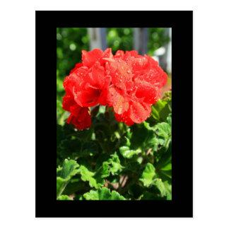 Postal roja de la flor del geranio