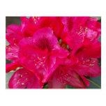 Postal roja del rododendro
