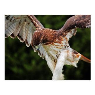 Postal Rojo-Atada del halcón