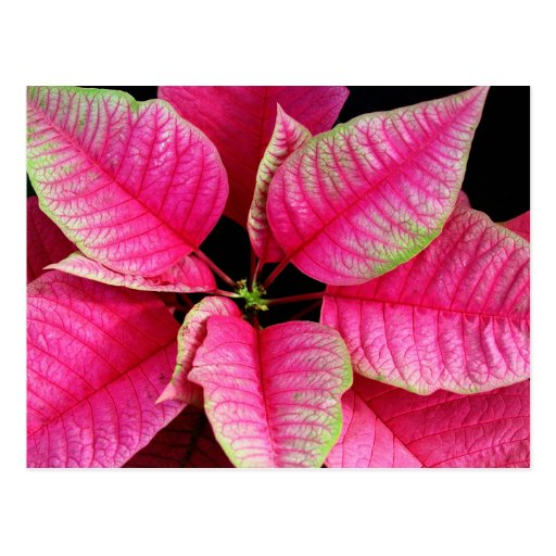 Postal rosada brillante del Poinsettia