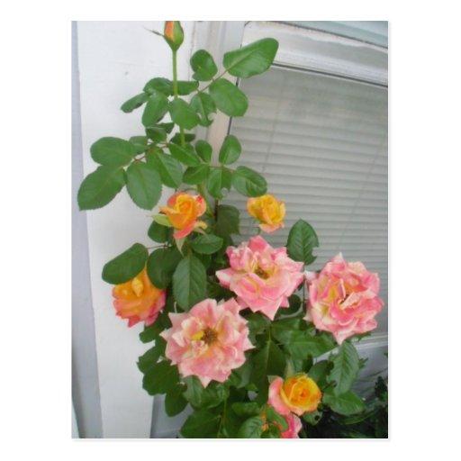 Postal rosada coralina de Bush color de rosa