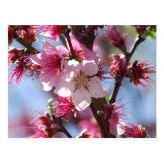 Postal rosada de la flor de cerezo