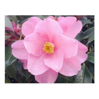 Postal rosada de la flor de la camelia