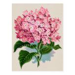 Postal rosada de la flor del Hydrangea del vintage