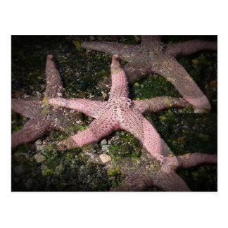 Postal rosada de las estrellas de mar