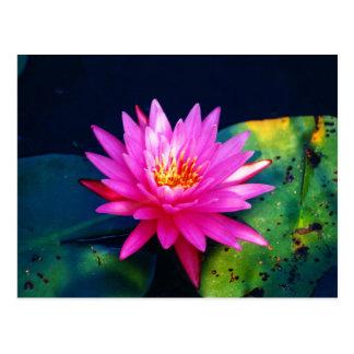 Postal rosada de Waterlilly