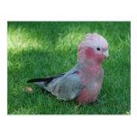 Postal rosada del Cockatoo