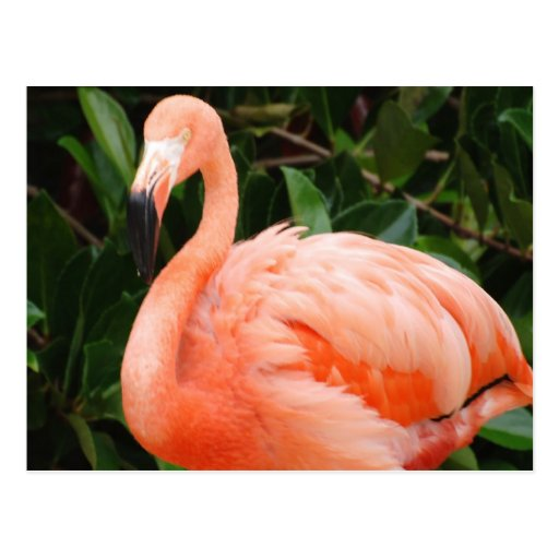 Postal rosada del flamenco