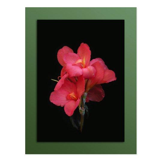 Postal rosada del flor de Canna